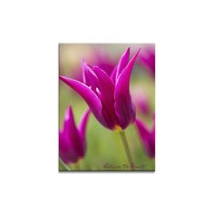 Blumenbild auf Leinwand, als Kunstdruck oder Fototapete  Purpurträger