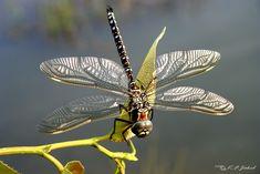Große Libelle (Torf-Mosaikjungfer) von Kai F. Jäkel