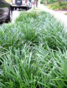 liriope: spicata spreads aggressively, so only use in very contained places; muscari clumps, so it's 'safer' -- the easiest groundcover ever--surviving full sun or deep shade, wet or dry, gentle treatment or harsh.