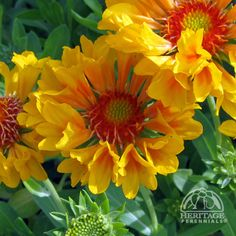 Blanket Flower (Gaillardia Commotion™ Moxie)    Like a bit of sunshine in your yard on a cloudy day