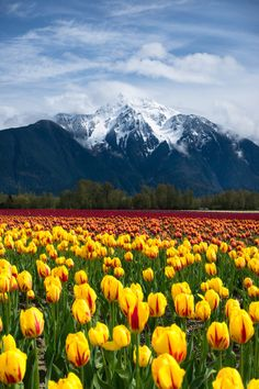 Chilliwack, BC, Canada-tulip fields in spring Places Around The World, Around The Worlds, Beautiful World, Beautiful Places, Tulip Fields, Seen, Canada Travel, British Columbia, Rocky Mountains
