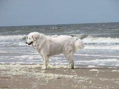 Great Pyrenees are beautiful dogs.