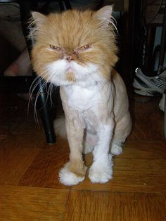 Cats that look like a lion, shaved as lions, hoax or crazy owners Long Haired Cats, Like A Lion, Travel Humor, Cat Grooming, Lions, Adventure Travel, Funny Animals, Funny Quotes, Kitty