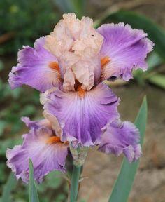 TB Iris germanica 'Bonnie Elizabeth' (Black, 2002)