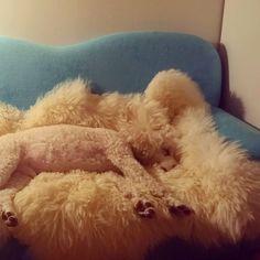 Tobbe the Poodle: sleeping beauty ♥ Poodle, Shag Rug, Sleeping Beauty, Lifestyle, Rugs, Animals, Home Decor, Shaggy Rug, Animales