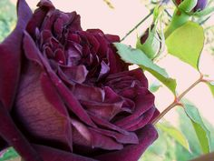 ~David Austin Rose - The Prince. Planted for my cat Brad. Very dark purple, typical flat cup style of David Austin Roses. Strong rich scent.