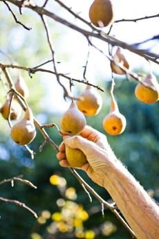 Pears, apples, peaches, and cherriesin your own backyard—experts and home gardeners share advice on the most fruitful choices for New England.