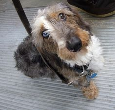Wirehairs are the characters of the Doxie breed. They keep you laughing. Miss you Gerber, so much!