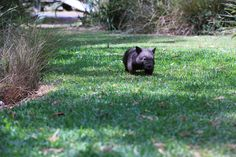Little Wombats are faster than you'd think, JoJo the wombat loves a bit of a run around, not for too long through before she promptly falls asleep.