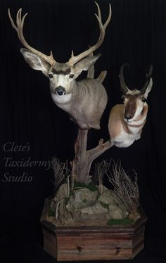 1000 images about taxidermy on pinterest deer mounts for Ebensburg hunting and fishing