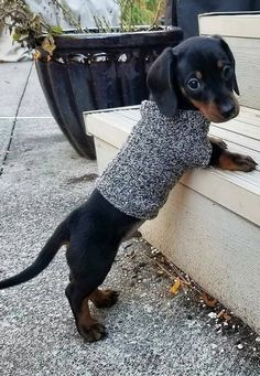 Cute Baby Dogs, Cute Little Puppies, Cute Dogs And Puppies, Baby Puppies, Cute Little Animals, Cutest Dogs, Dachshund Puppies, Dachshund Love, Daschund