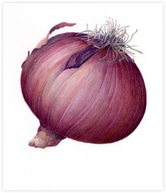 Red Onion Illustration Pin by Michelle...
