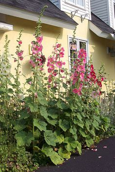 hollyhocks - never planted these but now i can! they are so big and beatiful!