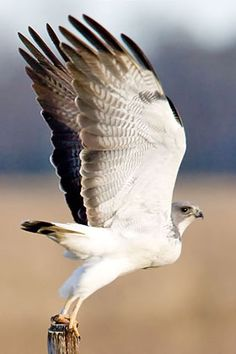 White-tailed Hawk (Buteo albicaudatus) Beautiful !