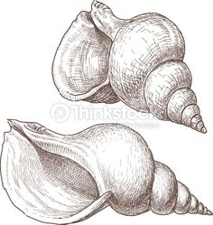 Vector image of the two big seashells. Ink Pen Drawings, Animal Drawings, Drawing Sketches, Art Painting Gallery, Sketch Painting, Seashell Painting, Seashell Drawings, Seashell Tattoos, A Level Art Sketchbook