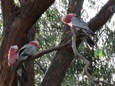 Galahs in a Gumtree near Bunbury, WA Western Australia, Westerns, Bird, Floral, Animals, Animaux, Flowers, Birds, Animal