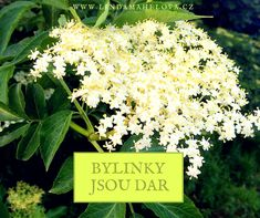 BEZ bylinky jsou dar Herbs, Health, Plants, Gardening, Health Care, Lawn And Garden, Herb, Plant, Salud