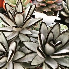 How To Use Succulent Landscape Design For Your Home Crassula Succulent, Sempervivum, Echeveria, Cacti And Succulents, Planting Succulents, Cactus Plants, Planting Flowers, Unusual Plants, Rare Plants