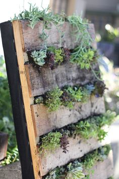 D.I.Y. wall of succulent plants using an upcycled wooden pallet  I am SO doing this! I have pallets left over from doing a stone patio too!