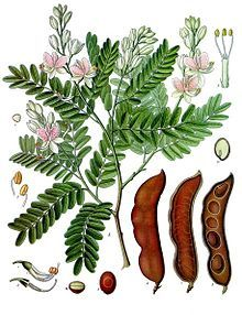 #Tamarindenbaum (Tamarindus indica), auch Indische Dattel oder Sauerdattel