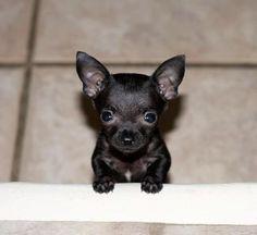I Love My Chihuahua Club - FB