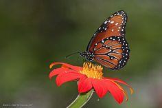 monarch butterfly  | Monarch Butterfly, Male (Danaus plexippus), Western Region Monarch ...