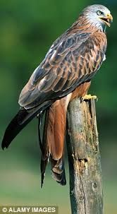 red kite - Google Search