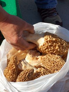 Huge morels at the Mountain Mushroom Festival in Irvine, Growing Morel Mushrooms, Poisonous Mushrooms, Edible Mushrooms, Wild Mushrooms, Stuffed Mushrooms, Morel Mushroom Recipes, Mushroom Fungi, Moral Mushrooms, Hunts Recipe