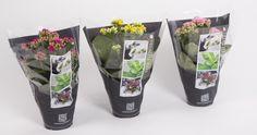 Kalanchoe packaging #bloemenhoes