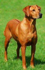 The Rhodesian Ridgeback: Lion Hunter, Athlete and Loyal Companion via the BBS Blog! #rhodesianridgeback #dogs #breeds