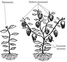 Целью формирования болгарского перца является создание куста, у которого будут иметься мощные побеги
