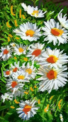 White daisies 2020 Red Daisy, Daisies, Still Life, Floral, Artwork, Plants, Margaritas, Work Of Art, Auguste Rodin Artwork