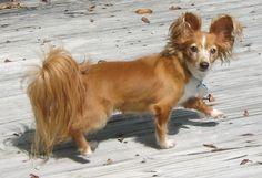 Papshund (Dachshund x Papillon)