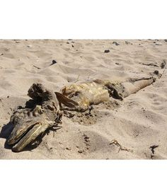 """Unidentified Sea Creature Washes Ashore in Scotland-June 2, 2013: Described as """"4-5 feet long, 1 foot wide & pretty big"""" by the man you found it on the beach, thought it looked like an eel.  Stephen McKelvie of St. Andrews Aquarium in Fife thought it either a conger eel or oarfish; some even said 'Loch Ness Monster', of course.  Experts eventually decided the creature is a conger eel."""