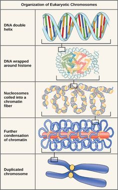 Lets Go Blog: EUKARYOTIC CHROMOSOMAL STRUCTURE AND COMPACTION