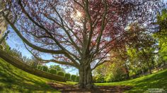 This tree is huge and located on the campus of Salve Regina University in Newport, Rhode Island.