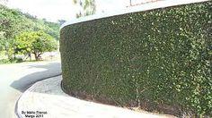 Resultado de imagem para jibóia planta em muros