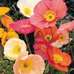 2016 Icelandic Poppy 'Champagne Bubbles.'  Bought some of these this evening for my porch.