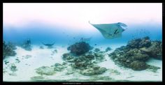 Manta Rays at Lady Elliot Island, Australia