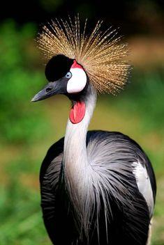 Uganda crested crane...