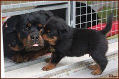 Rottweiler, c'mon mom let's go play