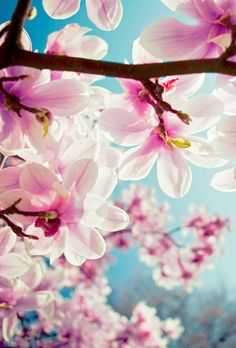 magnolia buds by jurg dickmann photography
