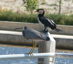 Ardea novaehollandiae and phalacrocorax melanoeucos; White Faced Heron And Little Pied Cormorant