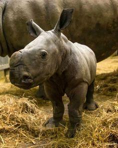 Double the fun:  Two White Rhinos born at Knowsley Safari Park