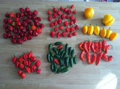 Red Habanero, Trinidad Scorpion, Yellow Bell and Yellow Sweet Pepper  7pot cross, Jalapeno, Bhut Jolokia aka Ghost on GardenWeb     What a lovely collection !