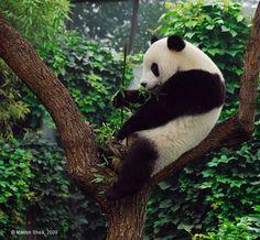 Giant Panda 大猫熊