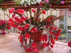 Epiphyllum ackermannii33