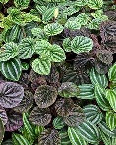 The peperomia family Indoor Tree Plants, Best Indoor Trees, Indoor Flowers, Indoor Planters, Trees To Plant, Cacti And Succulents, Planting Succulents, Garden Plants, Peperomia Plant
