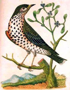 Missell Bird: James Bolton,  Harmonia Ruralis 1794 - 1796