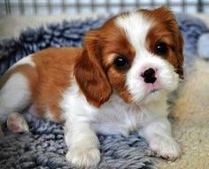 Awwwww soooo cute man that was a lot of letters huh Cavalier King Charles Blenheim, King Charles Puppy, King Charles Spaniel, Cute Puppies, Cute Dogs, Poodle Puppies, Spaniel Puppies, Tier Fotos, Little Dogs